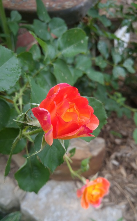 Spring Rose: Virginia